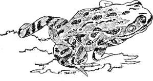 line, art, illustration, frog