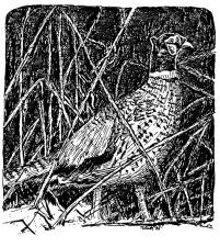 pheasant, rooster, line, art, illustration, phAsianidae