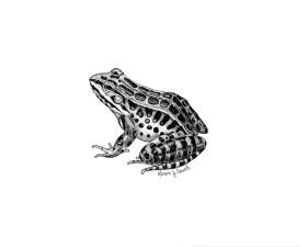pickerel, frog, rana palustris, illustration