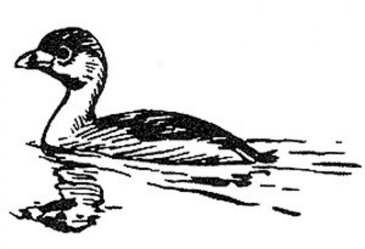 pies, facturé, grèbe, oiseau, illustration, ligne, art, noir et blanc, Podilymbus, podiceps