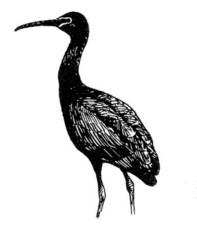 Plegadis falcinellus, ptak, błyszczący, ibis, linia, rysunek