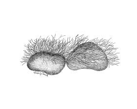 riverweed, podostemum, line, art, illustration