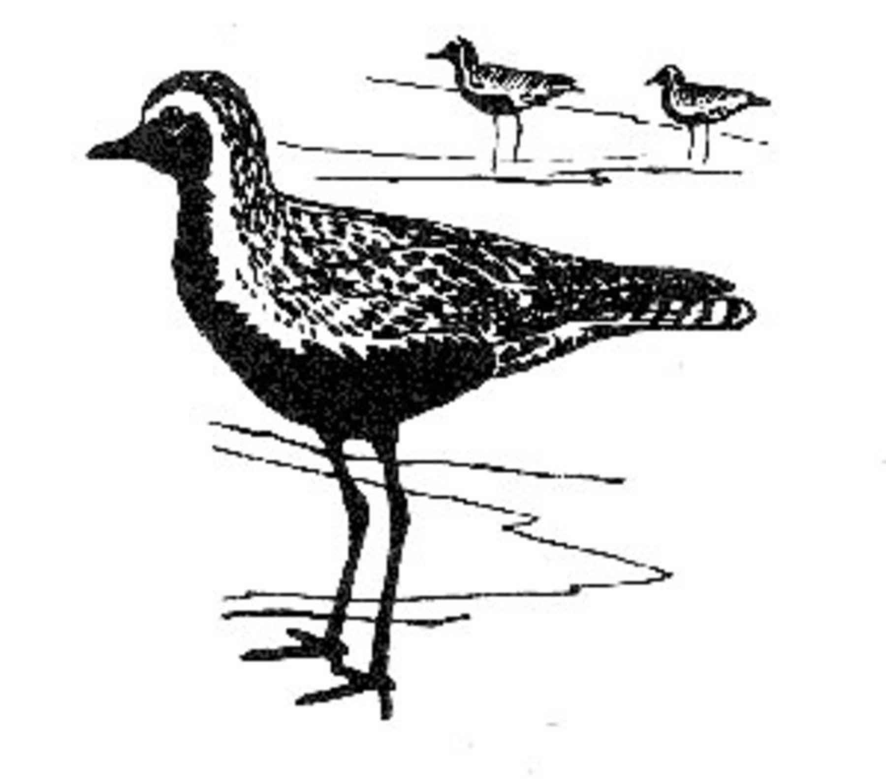 free picture shorebirds drawing art black and white golden