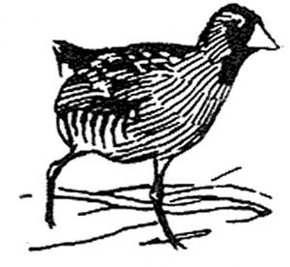 Szyna, ptak, czarno-białych ilustracji, porzana, Sora, Karolina
