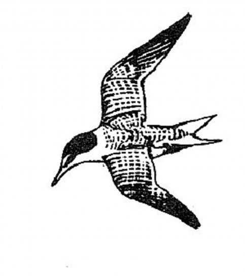 Sterna, antillarum, najmanje, čigra, ptica, linija, crtanje