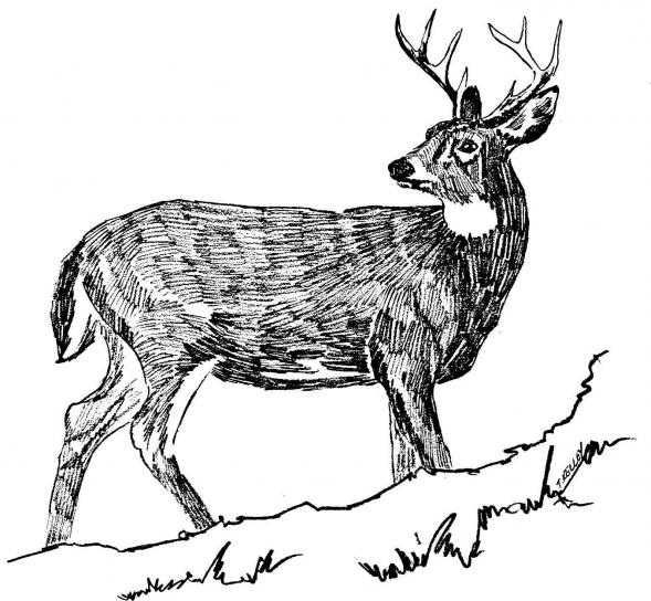 white tailed, deer, black and white, line, art, drawing