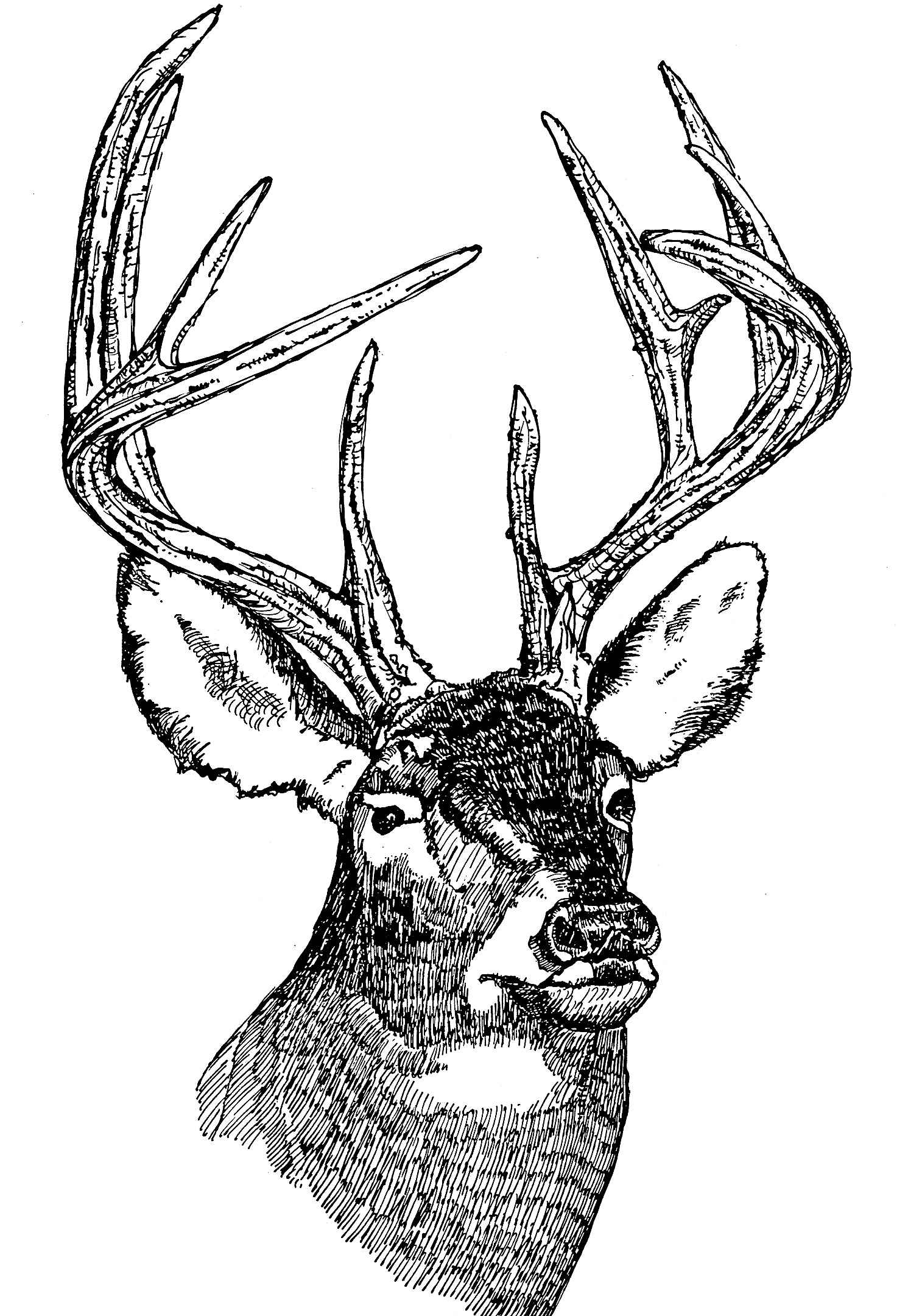 Line Art Painting Images : Free photograph white tailed deer head illustration