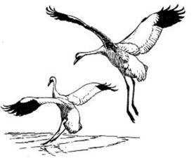 whooping, cranes, birds, illustration