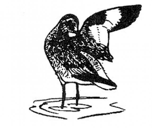 Willet, uccello, linea, arte