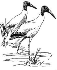 wood, stork, birds, wading, mycteria Americana, black and white, drawing, art