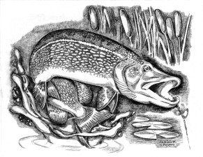 young, northern pike, bucktail, ambush, esox, lucius, black and white, clipart, art, drawing