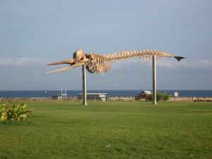 skeleton, whale