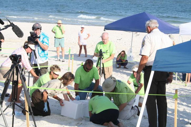 biologists, work, volunteers, excavate, sea, turtle, nest