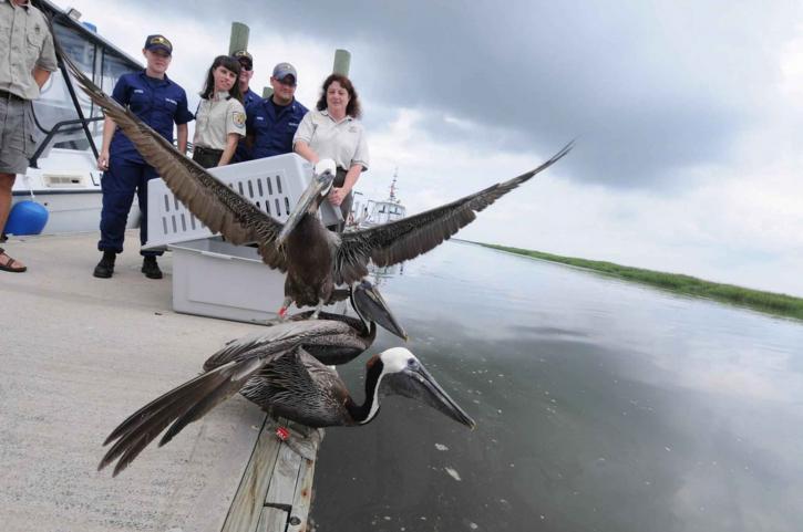 smeđa, pelikane, objavljen