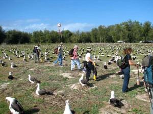 counting, laysan, albatross, nests, ground, phoebastria, immutabilis