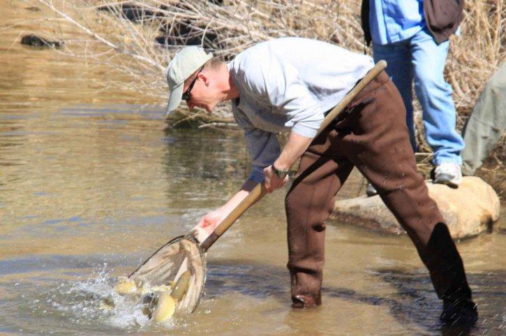 gila, trout, fish, release