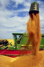 wheat, harvest