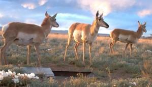 antilope, champ, Sevilleta, désert, refuge, Mexique