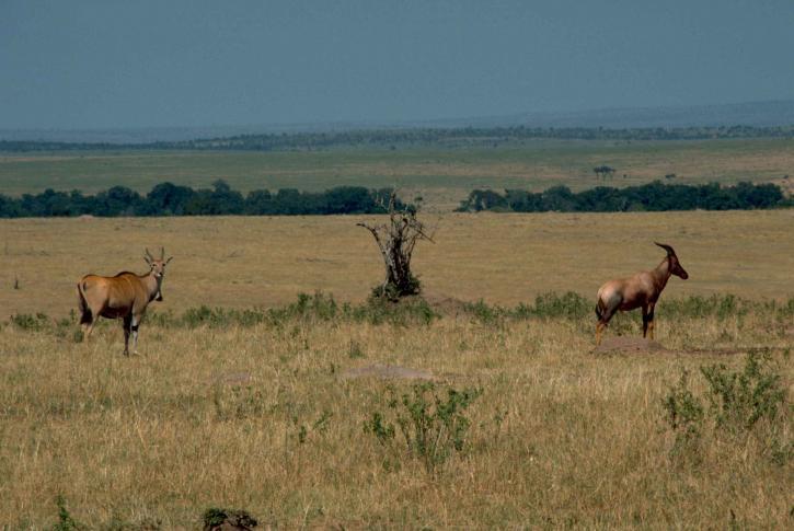 eland, topi, Tanzania, mammals, animals