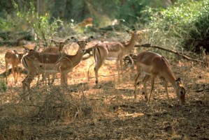 impala, africaine, mammifère