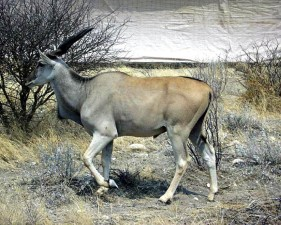male, eland, taurotragus, oryx, animal, mammal