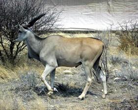 Mężczyzna, eland taurotragus, oryx, zwierząt, ssak