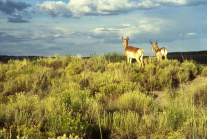 pair, pronghorn, antelope