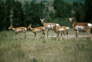 troupeau, pronghorn, antilope, animaux, antilocapra, Americana