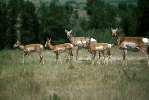 herd, pronghorn, antelope, animals, antilocapra, Americana