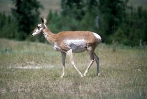 pronghorn, antelope, female, antilocapra, Americana