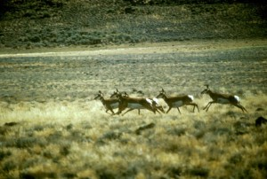 pronghorn, antelope, herd