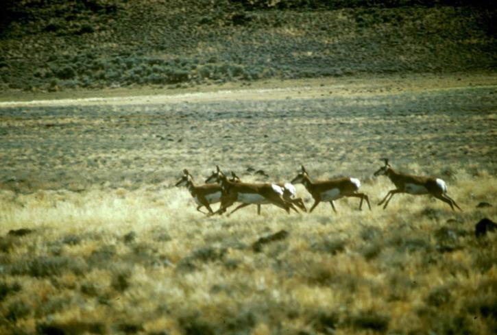 pronghorn, antilope, troupeau
