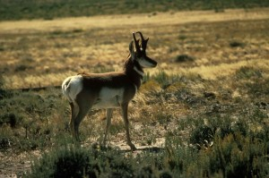 pronghorn, antilope, mâle, reproduction, plumage