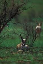 pronghorn, antílope, de descanso, los árboles