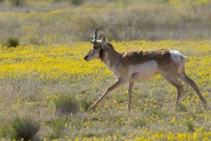 pronghorn, antelope, runs, gingerly, meadow