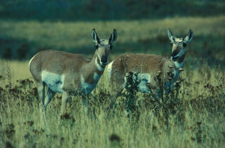 Gaffelbok, dieren, zoogdieren, antilocapra, Americana, sonoriensis