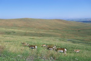 scenic, several, pronghorn, grazing, forefront, hills