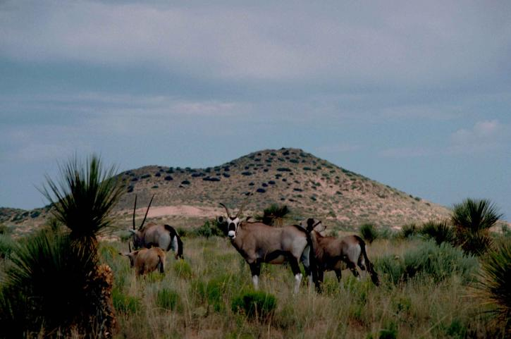 sud, africaine, oryx, oryx, gazella, africaine, mammifère