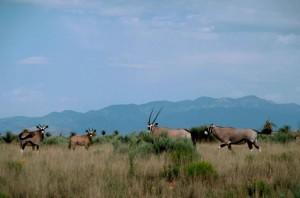 sud, africaine, oryx, oryx, africaine, mammifère