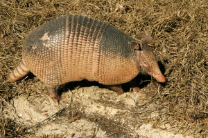 armadillo, animal, ground