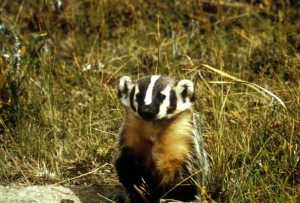 badger, animal