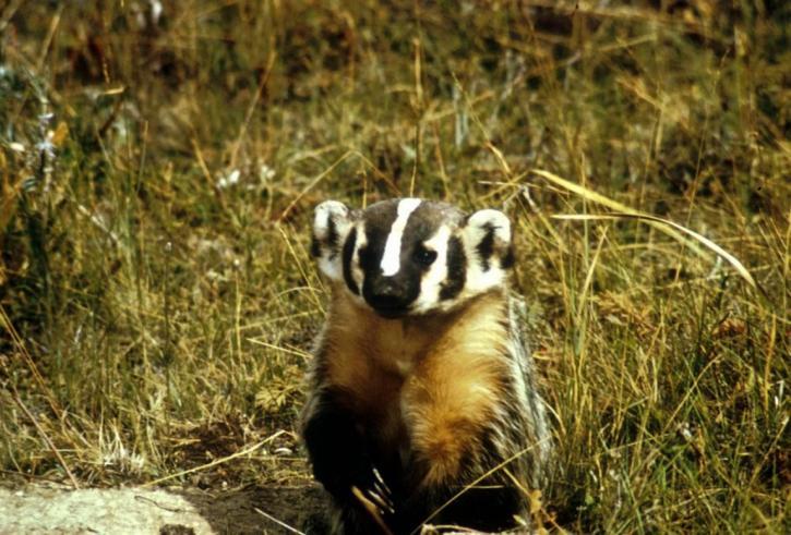 badger, animal