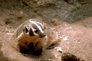 badger, animal, high resolution