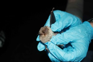 biologist, holding, gray, bat, gray, bat, survey, site