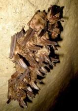 cluster, zdravé, Virginie, velký, ušatý, netopýry, corynorhinus townsendii