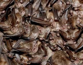 Cluster, hibernating, Virginia, groß, Ohren, Fledermäuse