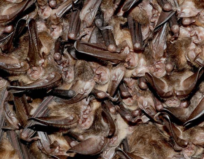 cluster, hibernating, Virginia, big, eared, bats