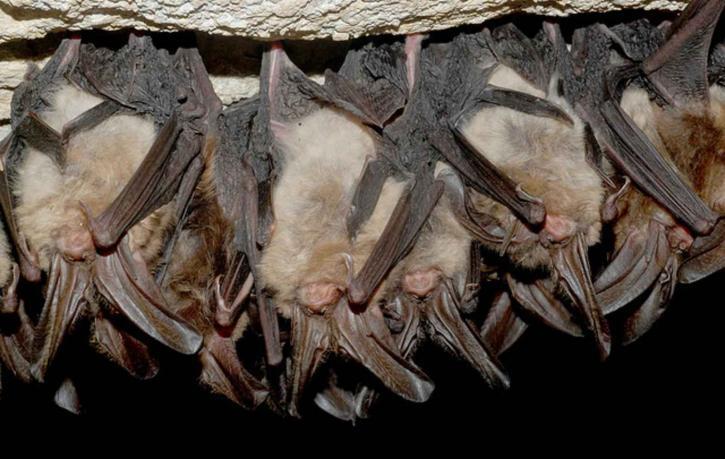 v režimu spánku, Virginie, velký, ušatý, netopýři, jeskyně