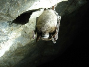 little, brown, bat, cave, myotis, lucifugus