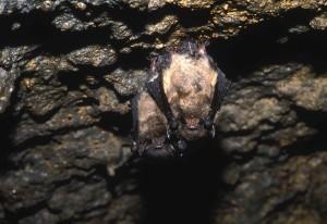 little, brown, bats, little, brown, myoti
